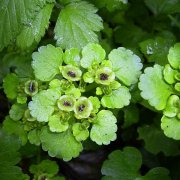 Milzkraut (Chrysosplenium alternifolium)